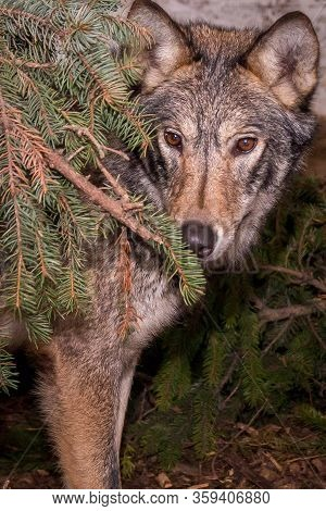 Wolf In The Wild Between The Christmas Trees. Close-up.