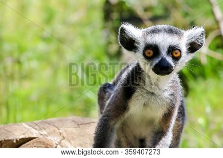 Lonely Lemur On A Background Of Green Plants In The Wild.