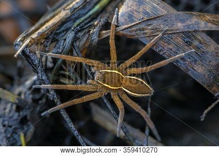 Great Raft Spider Or Fen Raft Spider (dolomedes Plantarius) Is A European Species Of Spider In The P