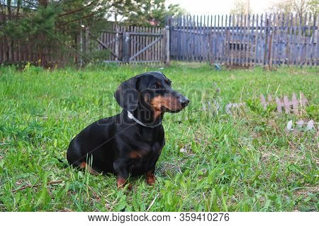 Dog Dachshund In Nature. Domestic Dog Dachshund In Nature Outside The City