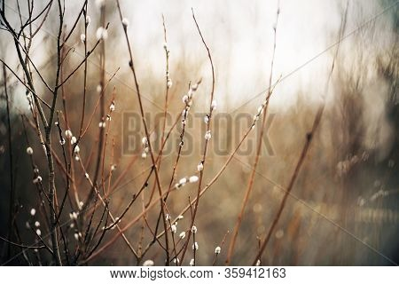 Delicate Fluffy Willow Flowers Blooming On Thin Elegant Branches Are Illuminated By Weak Daylight On