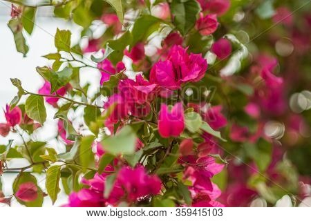 Pink Bougainvillea With Blurred Bokeh Background
