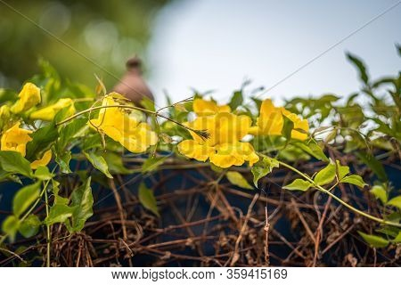 Yellow Flowers On Green Vines On Blue Wall