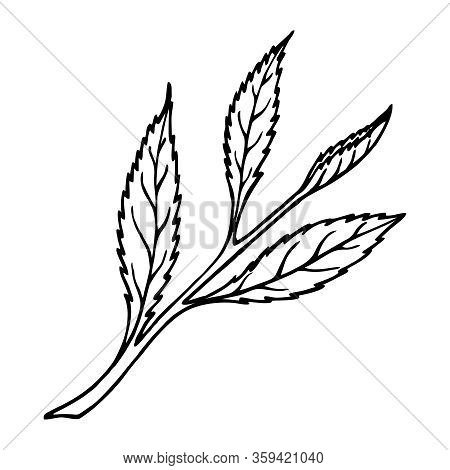 Drawn Camellia Leaves On A White Background In A Vector