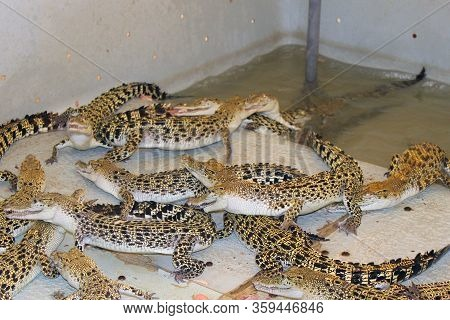 Palawan, Ph - Dec. 4: Palawan Wildlife Rescue And Conservation Center Crocodiles On December 4, 2016