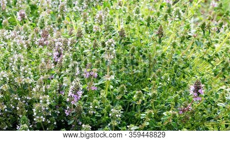 Salvia Sclarea, Clary, Or Clary Sage Plants Growing In The Field. Blossoming Of Salvia Sclarea Or Cl