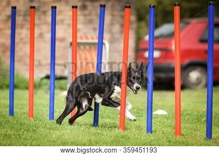 Black And White Border Collie In Agility Slalom On Ratenice Competition. Amazing Day On Czech Agilit