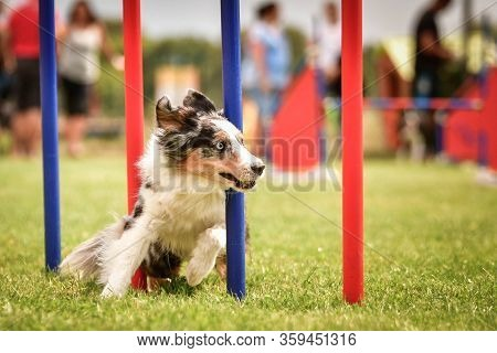 Bluemerle Border Collie Is Running On Czech Agility Competition Slalom. Prague Agility Competition I