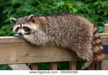 Raccoon, Resting Her Head On Her Paw, Relaxing On A Wooden Deck Railing.