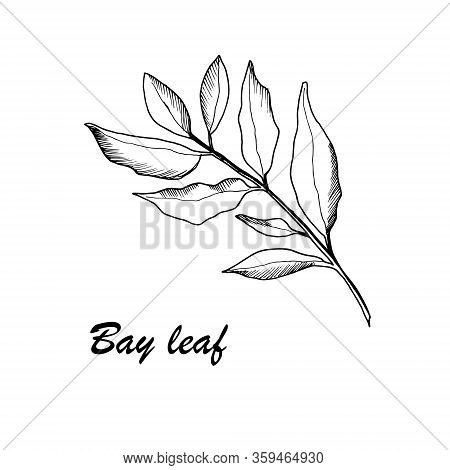 Vector Botanic Illustration With Bay Leaf On White Background. Hand Drawn Food Collection With Seaso