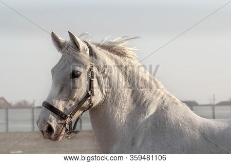 White Horse, Calm And Wise. Portrait Of A Gray Gelding In Black Halter, Walking In Paddock. Beautifu