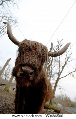 Standing Buffalo On Green Dirty Grass In Park For Cattle, Bison Shows His Large Head. Animal Buffalo