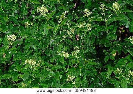 Close Up Of Flowering Privet Hedge Branches, Ligustrum Hedge