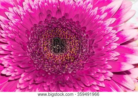 Close Up View Of Vivid Pink Gerbera Flower With Dark Core As Natural Background.