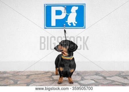 Obedient Dachshund Is Tied With Leash To Hook Under The Sign Of Dog Parking On Wall On The Street. D