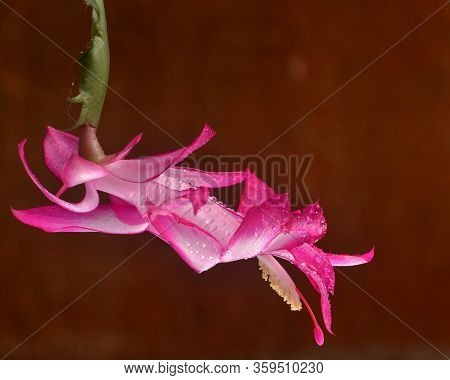 Closeup On A May Flower  (schlumbergera Truncata) Covered With Water Drops, Against Red Background,