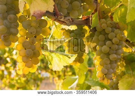 Bunches Or Backlit Ripe Sauvignon Blanc Grapes Growing In Organic Vineyard At Harvest Time