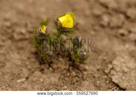 Yellow Flowers Adonis Grow In The Soil.