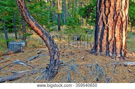 The Crooked And The Straight - A Curved Ponderosa Pine Next To A Larger Tree At The Metolius Preserv