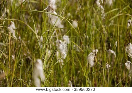 Сotton Grass In The Swamp On The Green Meadow. Marsh, Bog, Morass, Fen, Backwater, Mire, Slough... W
