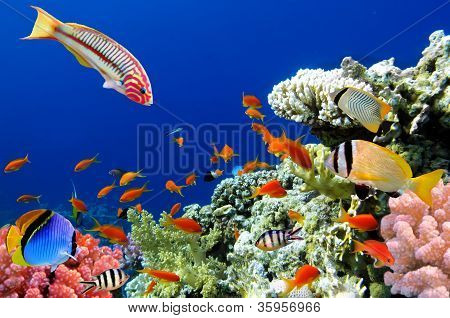 Tropical Fish And Coral Reef: Thalassoma Klunzingeri And Hard Corals In The Red Sea, Egypt