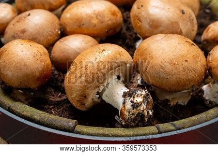 High Quality Organic Brown Champignon Mushrooms Growing In Caves Close Up