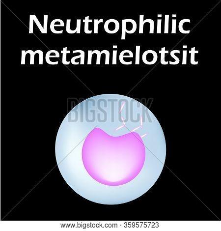 Neutrophils Structure. Blood Cell Neutrophils. White Blood Cells. Leukocytes. Infographics. Vector I