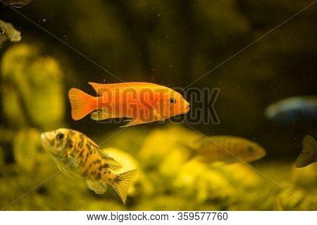 Colorful Mbuna African Cichlids Fish Swimming In Aquarium
