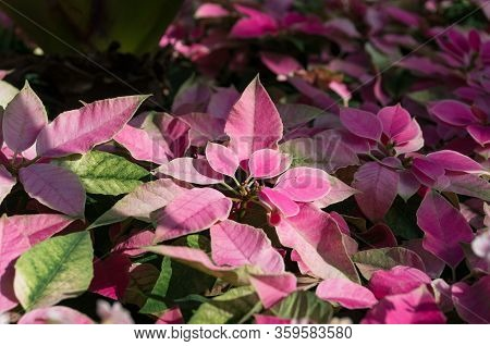 Colorful Foliage Nature Background In Pink And Green Tones. Floral Nature Background Of Alternanther