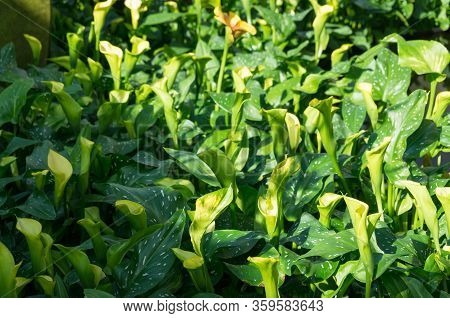 Arum Flowers In Flowerbed In The Garden Nature Background. Arum Blooming Plant Outdoors