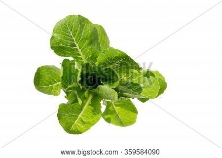 Fresh Green Cos Lettuce Or Romaine Lettuce Vegetable For Salad With Nutrient For Health Isolated On