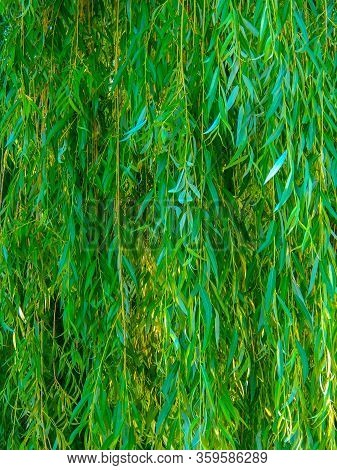 Green Weeping Willow Branches Hanging Down, Vertical Photo