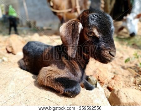 Beautiful Indian Goat Kid. The Goat Is A Member Of The Animal Family Bovidae And The Subfamily Capri