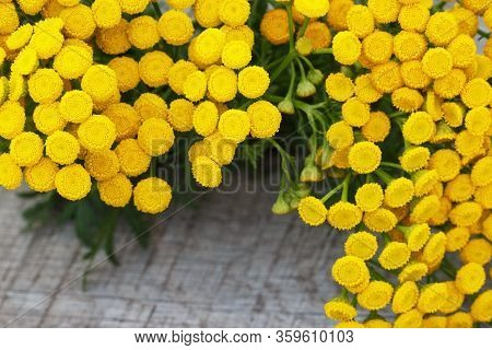 Yellow Tansy Flowers Close-up. Tanacetum Vulgare, Common Tansy, Bitter Button, Cow Bitter, Golden Bu