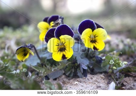 Young Orphan Pansy Viola Violaceae Flowers Yellow Blue Purple Close Up Closeup