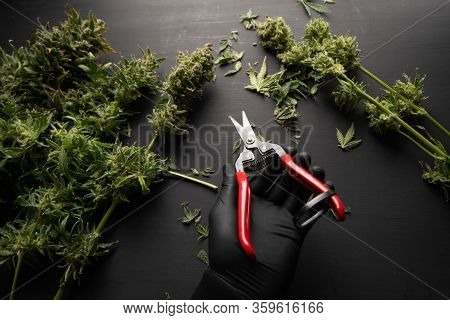Mans Hands Trimming Marijuana Bud. Growers Trim Their Pot Buds Before Drying. The Sugar Leaves On Bu