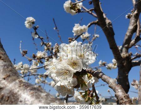 Flowering Of Apricot Tree, Blooming Apricot, White Flowers Of Apricot Tree, Prunus Armeniaca Blossom