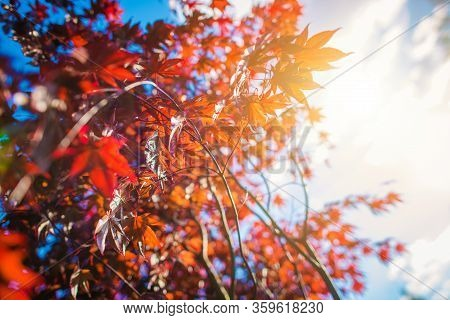 Reddish Tree Leaves. Colors Of The Nature Concept Photo.