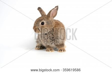 Furry And Fluffy Cute Red Brown Rabbit Erect Ears Are Sitting Look In The Camera, Isolated On White