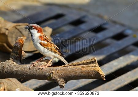 Domestic Sparrow Bird Perching On Dry Wood,portrait Of House Sparrow Perched In Wood,tree Sparrow Bi