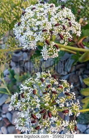 Brown Beetles On White Blooming Flowers On Sea Beach By Anapa Close Up