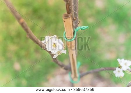 Blossom Flower On Dormant Asian Pear Tree With Bamboo Stake And Green Tie In Texas, America