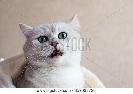 The Cat Is Meowing. Beautiful British Cat With Big Green Eyes. Animal Portet