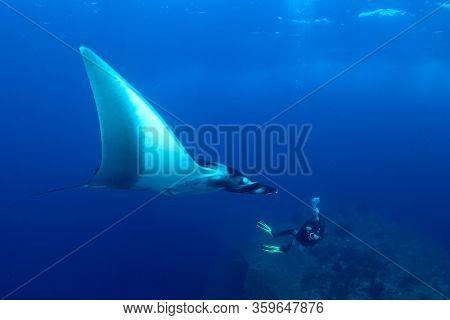 Oceanic Manta Ray and scuba diver