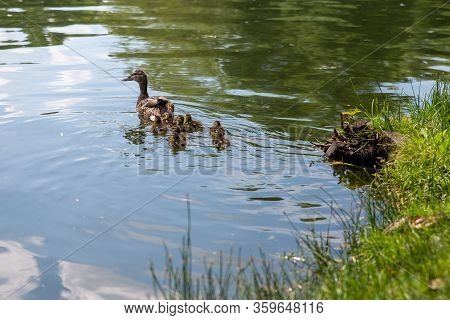 Duck With Small Ducklings Swims In The Pond