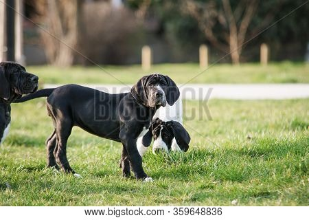 Puppy Great Dane On The Grass Close Up
