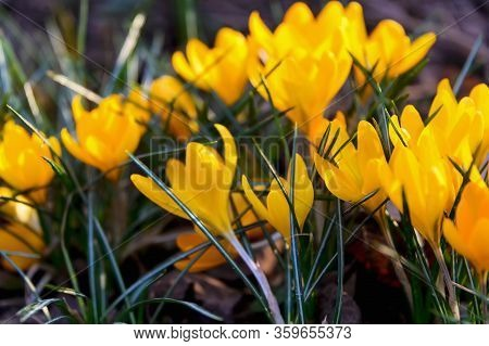 Flowering Crocuses With Yellow Petals (spring Crocus). Crocuses Are The First Spring Flowers That Bl