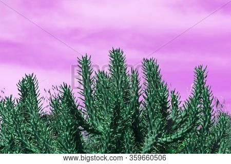 Green Thorny Cactus Stems In Front Of The Purple Sky