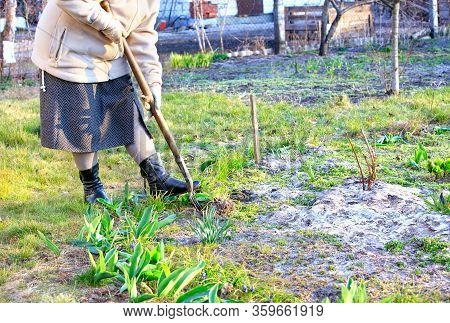 Using A Hoe, Farmer Weeds A Flower Bed With His Own Hands And Removes Weeds From The Soil In The Gar