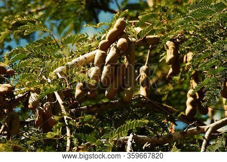 Exotic Fruit Called Tamarin On The Tamarin Tree In Cuba